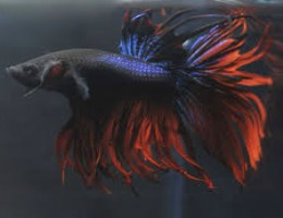 betta crown