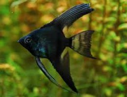 angelfish black