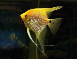 angelfish gold