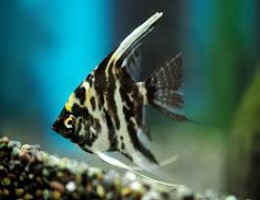 angelfish marble
