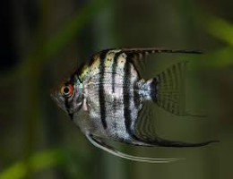 angelfish zebra