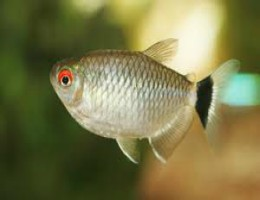 red eye fish