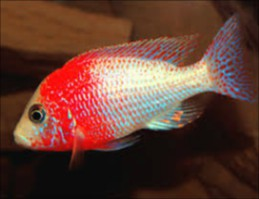 strauberry chiclid